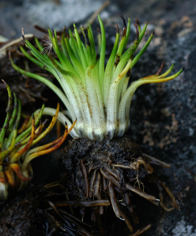 Image of <i>Isoetes storkii</i> T. C. Palmer