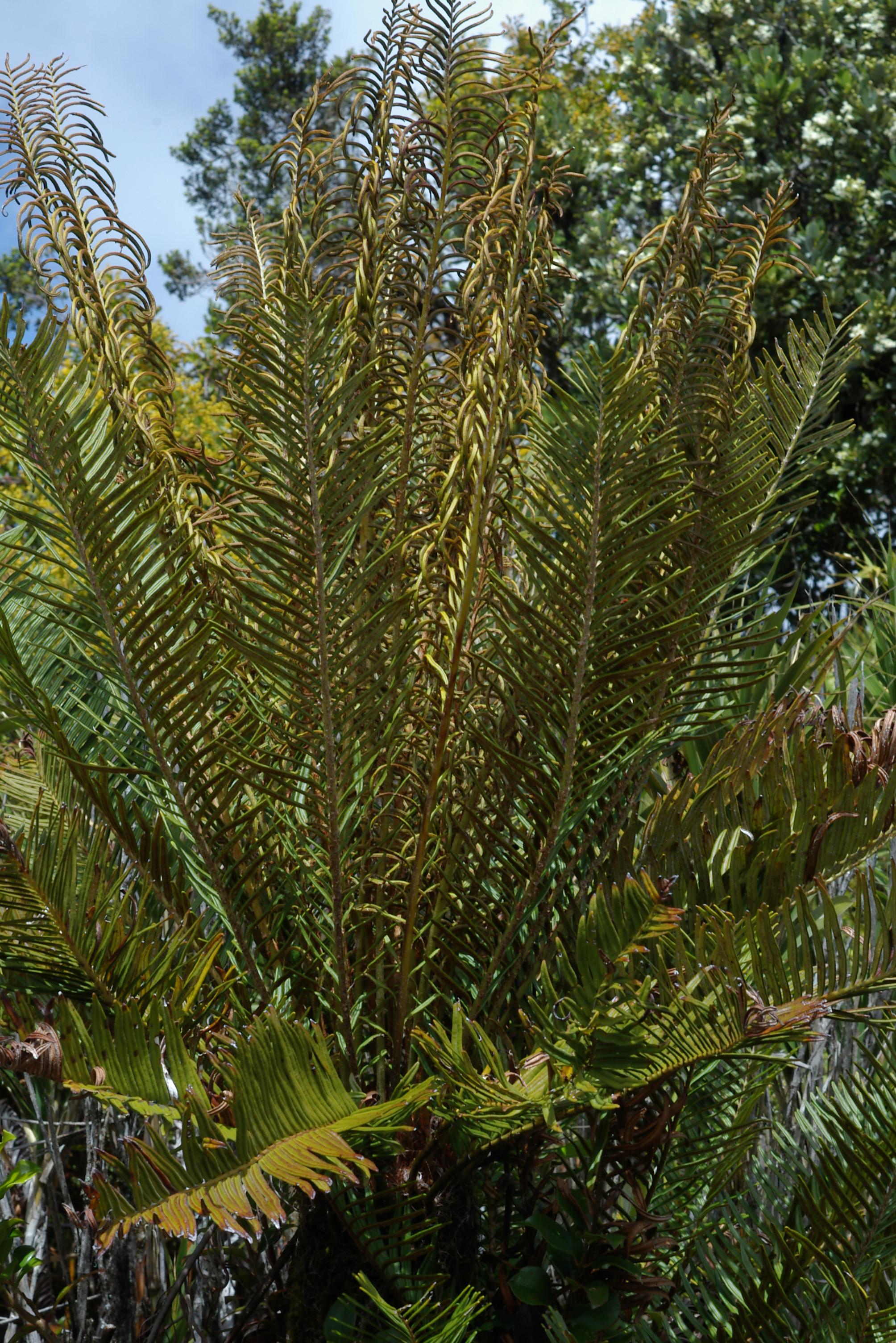 Image of <i>Blechnum buchtienii</i>