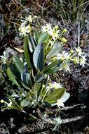 Image of <i>Drimys granadensis</i> L. fil.