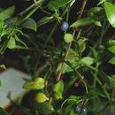 Image of <i>Didymaea mexicana</i> Hook. fil.
