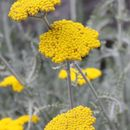 Image of moonshine yarrow
