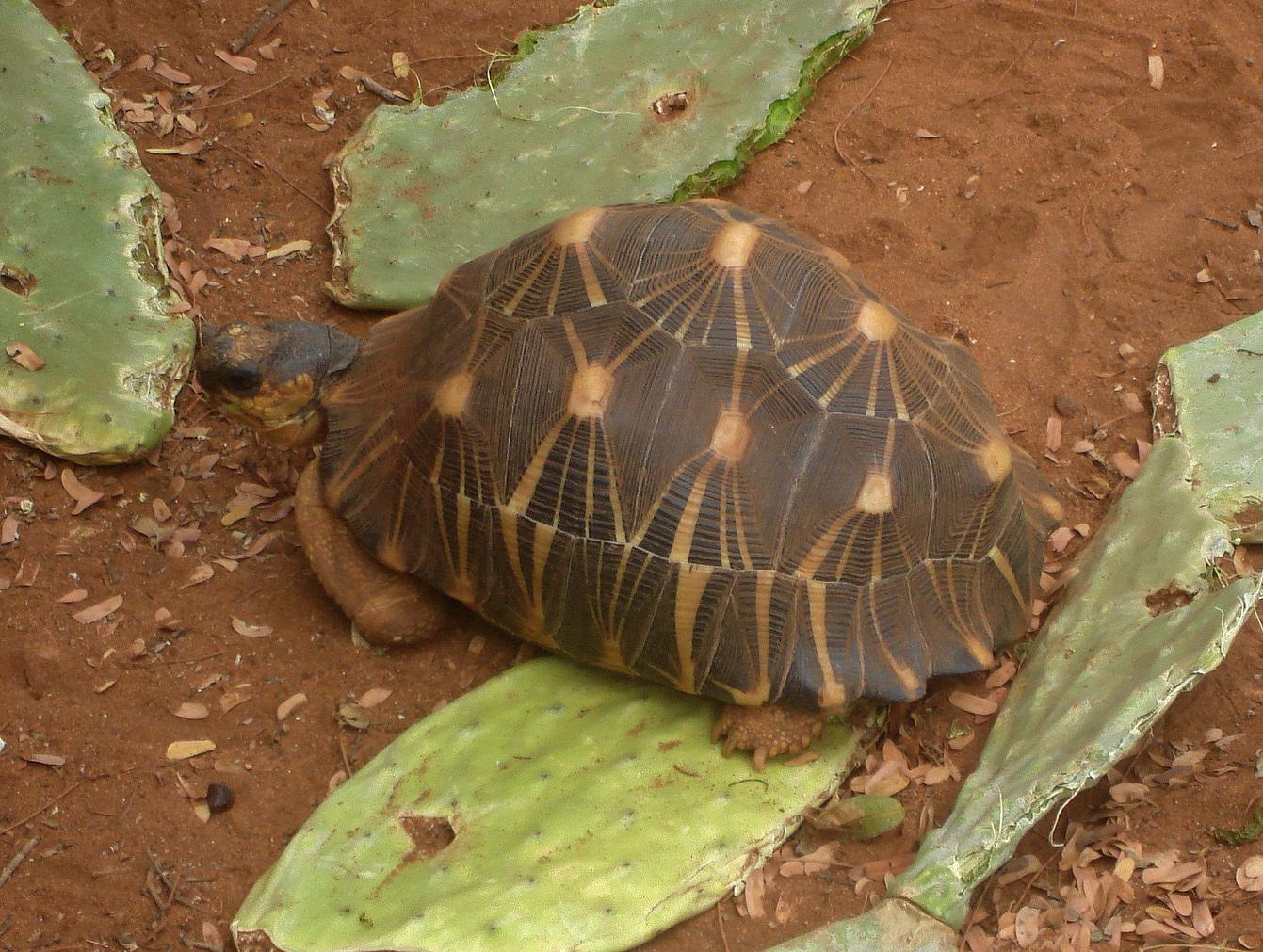 Image of Radiated tortoise