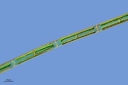 Image of <i>Spirogyra maiuscula</i>