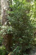 Image of <i>Camellia connata</i> Craib