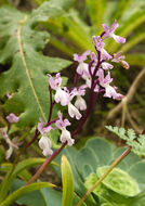 Image of <i>Orchis canariensis</i>