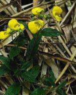 Image of <i>Calceolaria irazuensis</i> J. D. Smith