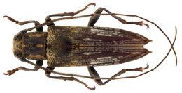 Image of <i>Mimosybra postlineata</i>