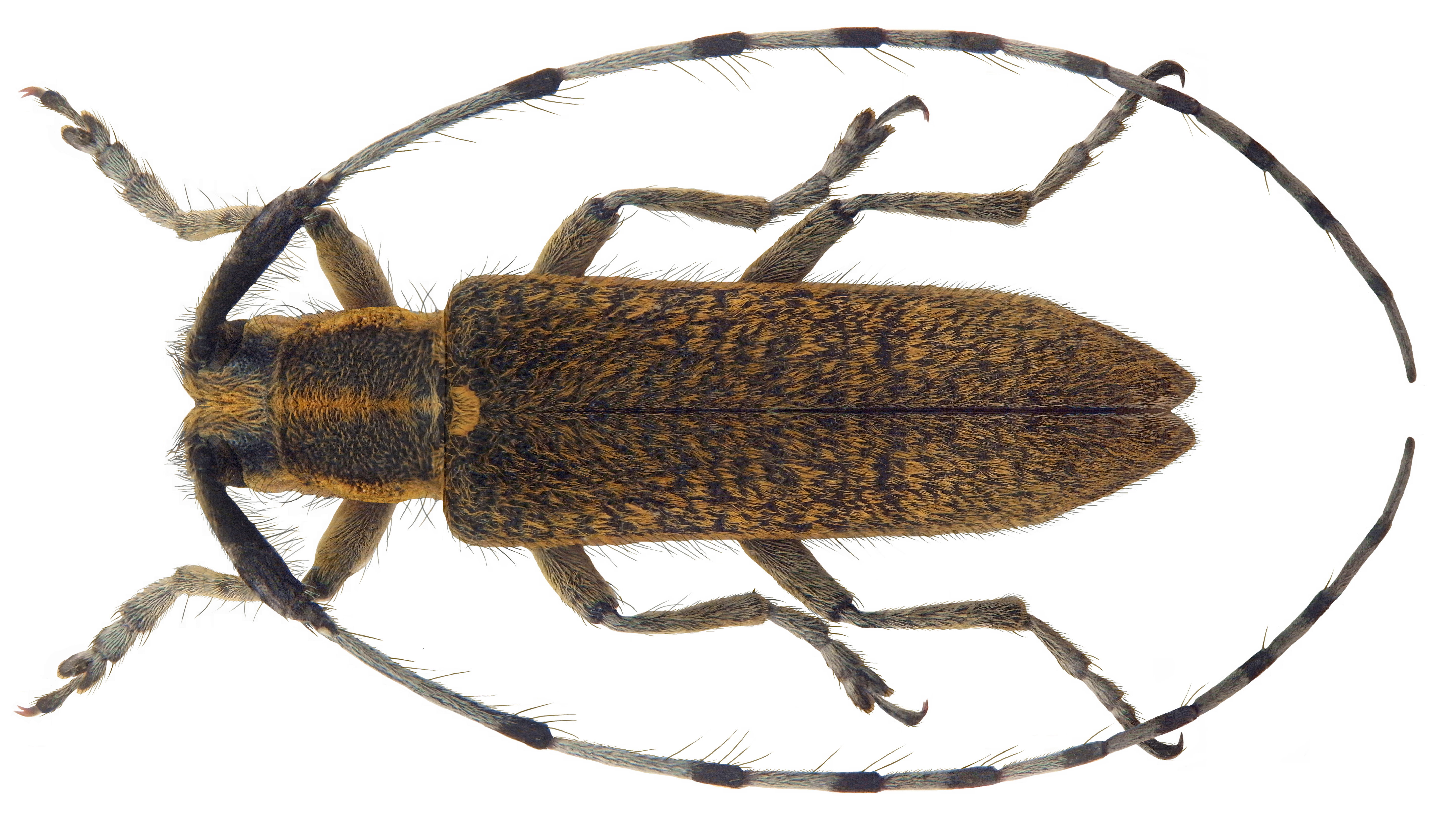 Image of <i>Agapanthia villososviridescens</i>