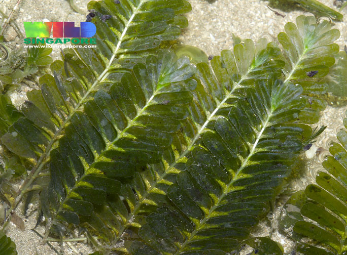 Image of Fern seagrass