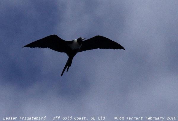 Image of Lesser Frigatebird