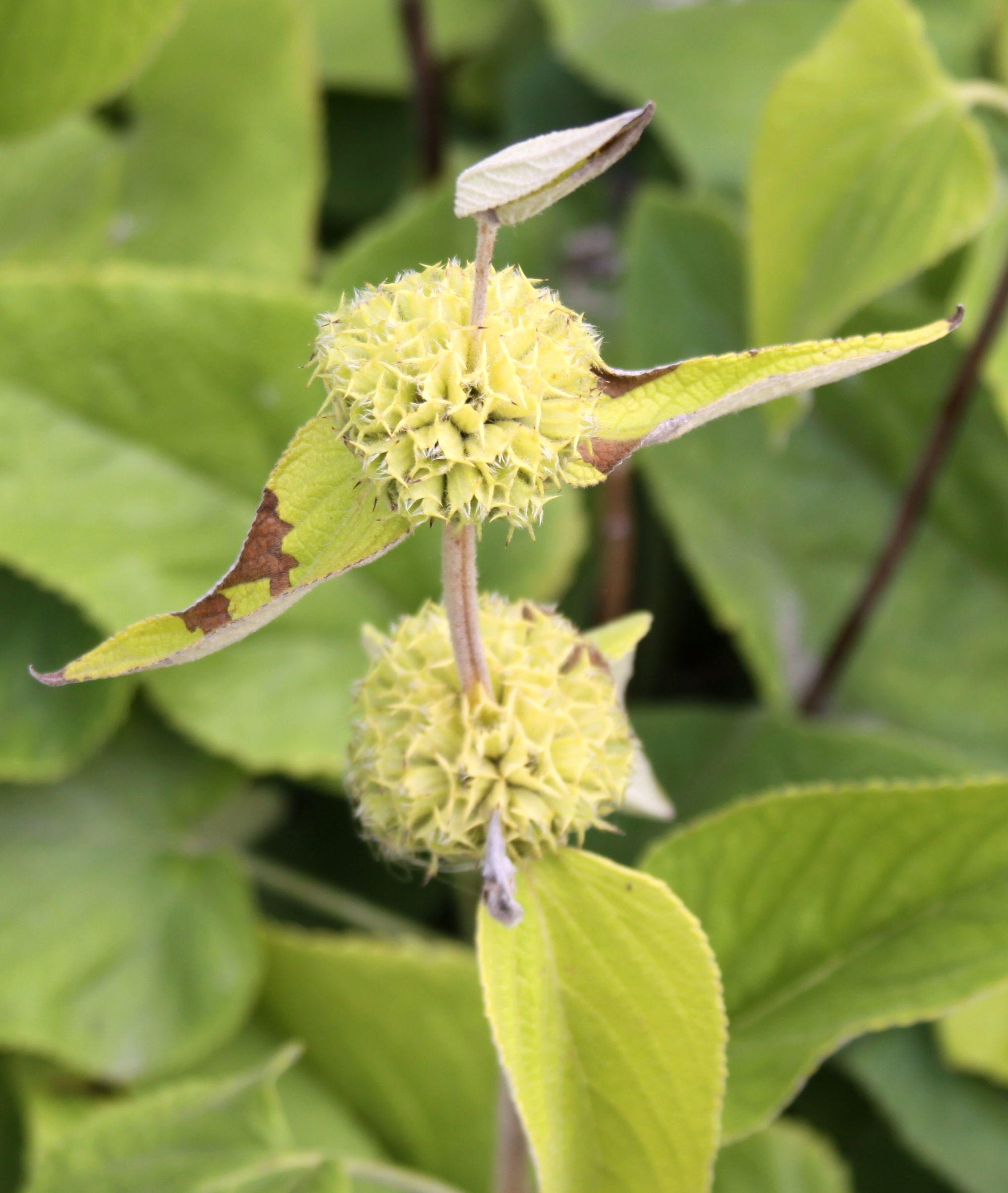 Image of <i>Phlomis russeliana</i> (Sims) Lag. ex Benth.