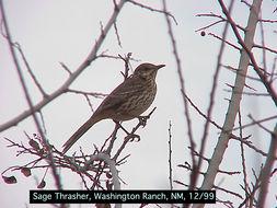 Image of Sage Thrasher