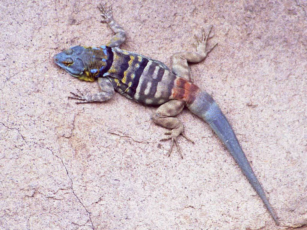 Image of Baja Blue Rock Lizard