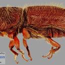 Image of <i>Pseudips mexicanus</i>