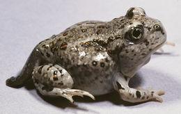Image of <i>Scaphiopus intermontanus</i>