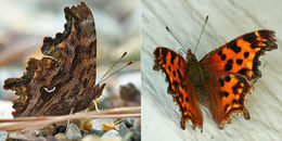 Image of Satyr Comma