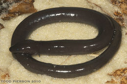 Image of Conger Eel