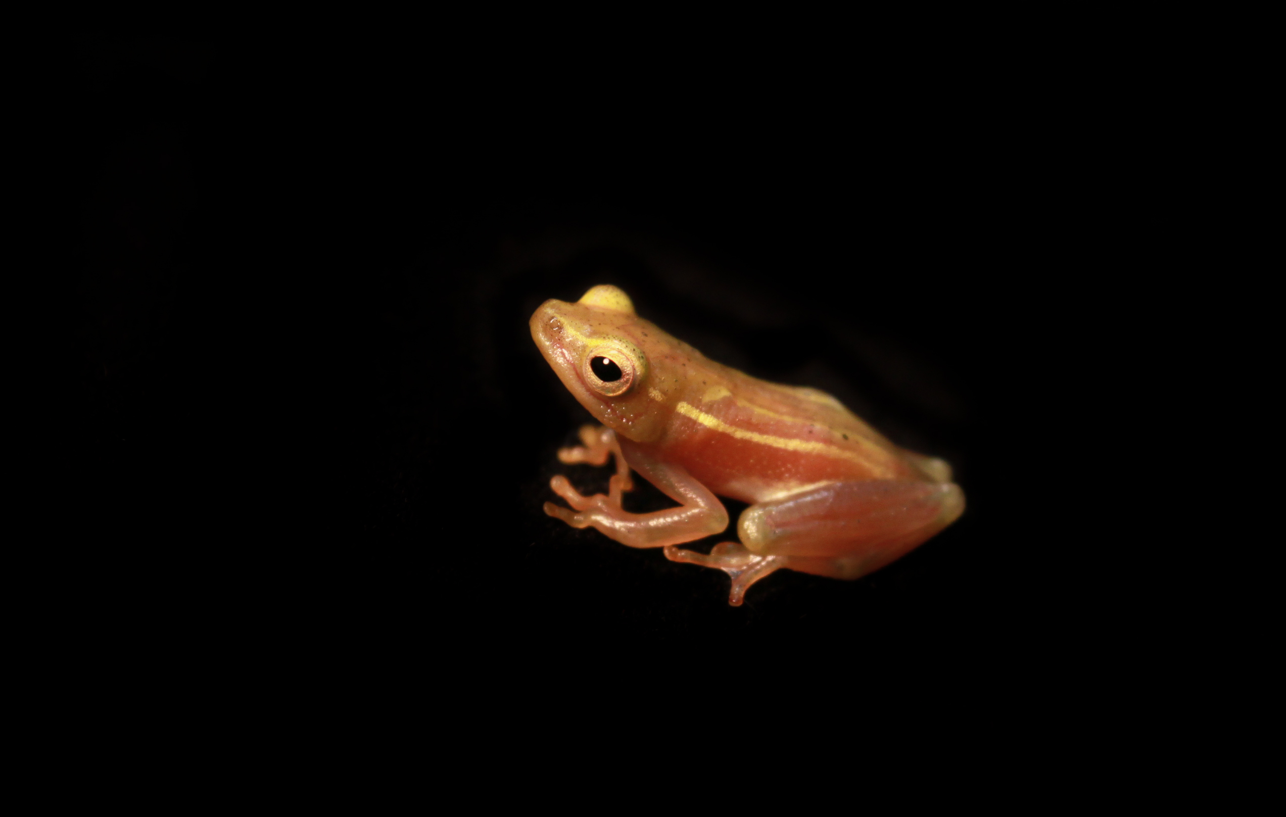 Image of long reed frog