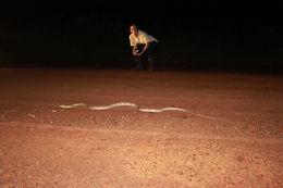 Image of Blanding's cat snake