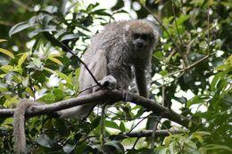 Image of white-eared titi monkey