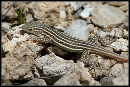 Image of Spiny-footed Lizard