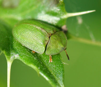 Image of thistle tortoise beetle