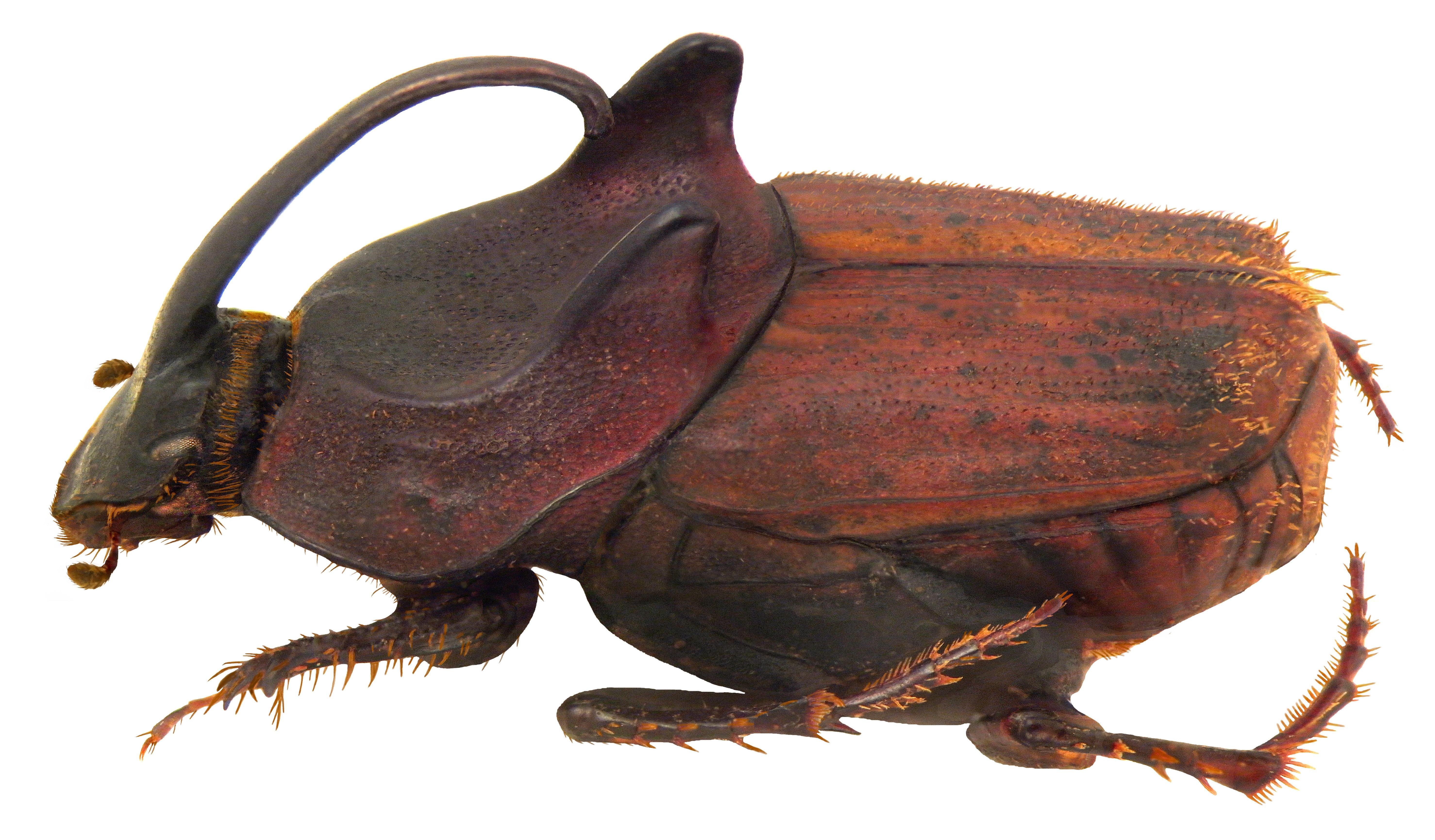 Image of <i>Liatongus incurvicornis</i> (Fairmaire 1887)