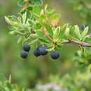 Image of Magellan barberry