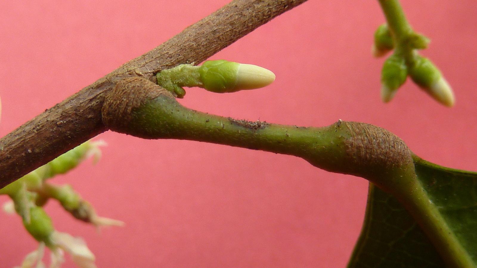 Image of <i>Pogonophora schomburgkiana</i> Miers ex Benth.