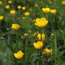 Image of creeping buttercup