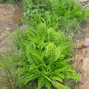Image of <i>Eucomis autumnalis</i> (Mill.) Chitt.