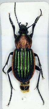Image of Ground Beetle