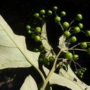 Image of <i>Solanum paniculatum</i> L.