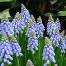 Image of common grape hyacinth