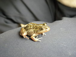 Image of Spotted Grass Frog