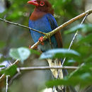 Image of Ceylon Blue Magpie