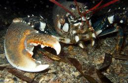Image of European lobster