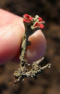 Image of Florke's cup lichen