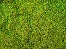 Image of square pleurochaete moss