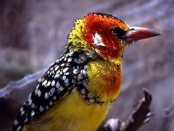 Image of Red-and-yellow Barbet