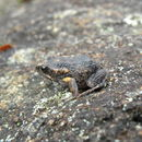 Image of Smooth Toadlet