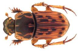 Image of <i>Oniticellus tesselatus</i>