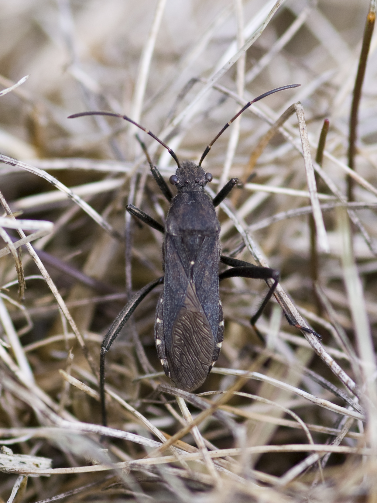 Image of Redbacked broad-headed bug
