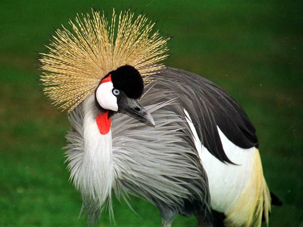 Image of Grey Crowned Crane