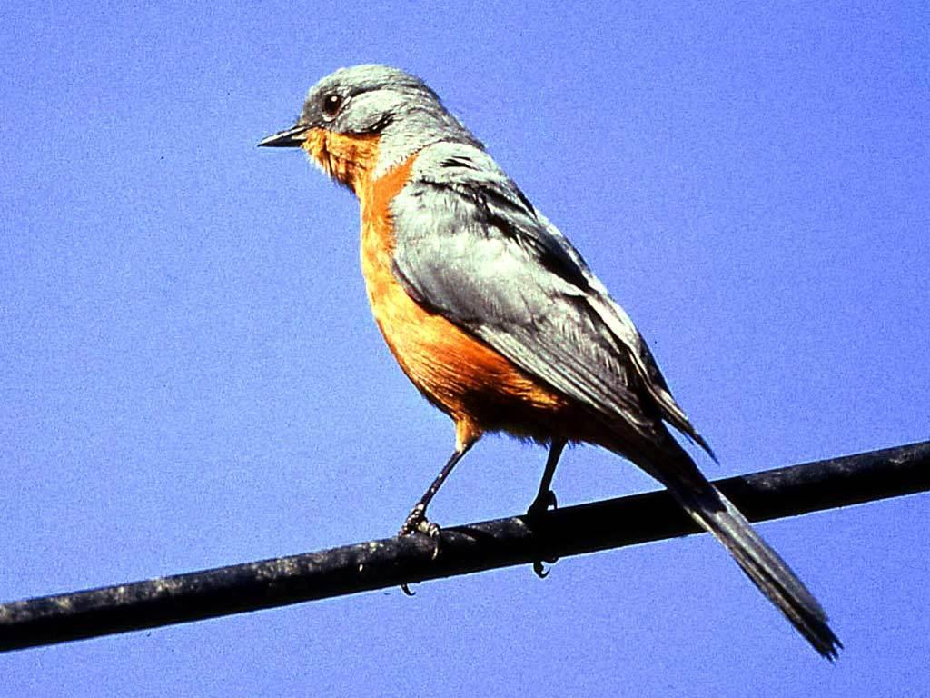 Image of Silverbird
