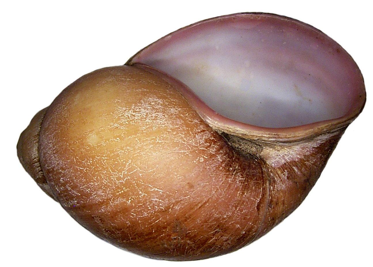 Image of <i>Burtoa nilotica</i> (L. Pfeiffer 1861)