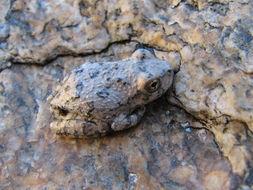 Image of Canyon Treefrog