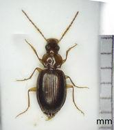 Image of <i><i>Trechus</i></i> (Trechus) <i>rubens</i> (Fabricius 1792)