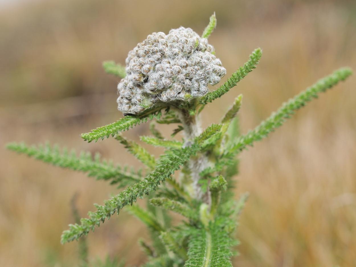 Image of <i>Achillea collina</i> J. Becker ex Rchb.