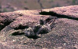Image of Freckled Nightjar